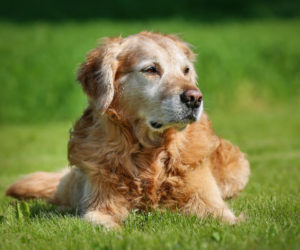 Arthritis in Senior Dogs: Signs and Treatments