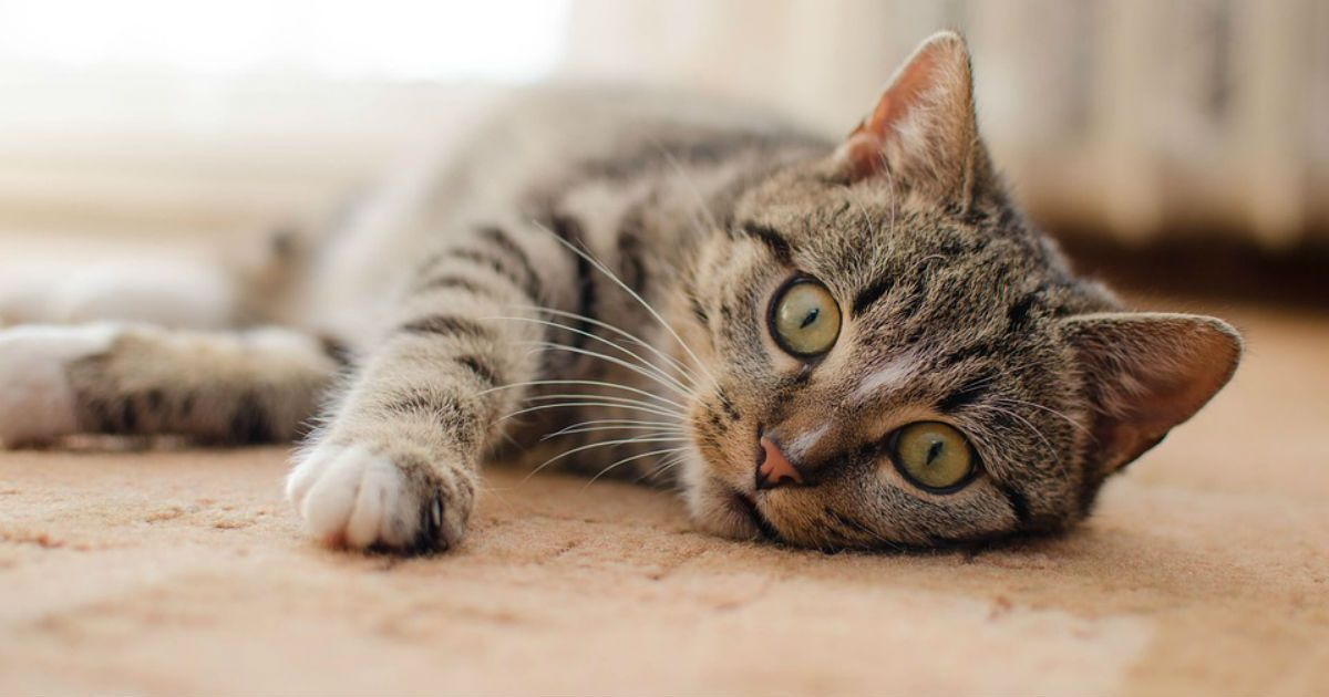 Cat Facts: How Long Are Cats In Heat?