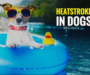 Increased Body Temperature and Heat Stroke in Dogs