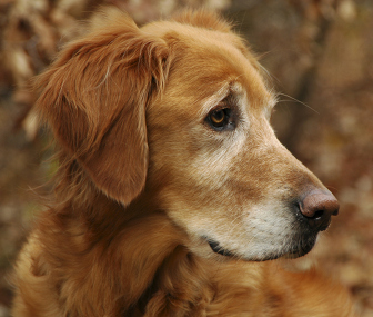 Dementia in Senior Dogs: 5 Ways to Deal With the Effects