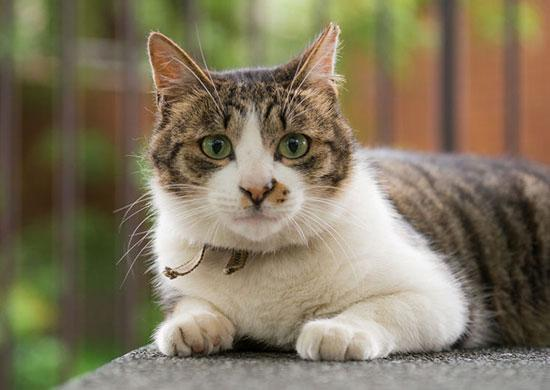 UC Davis study: Homemade feline diets nutritionally inadequate