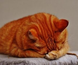 Urinary Blockages in Cats, It is an EMERGENCY!